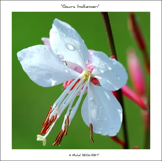 Fleur de Gaura lindheimeri