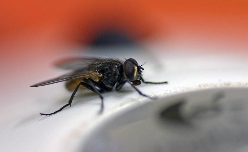 Colecciono moscas, moscas tse-tse...