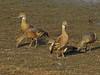 Plumed Whistling Ducks - Dendrocygna eytoni by maureen_g