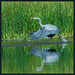 Flickr photo 'Blue Heron' by: funpics 47.
