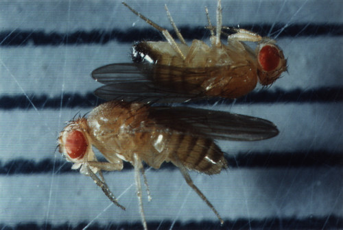 Drosophila melanogaster var. oregon