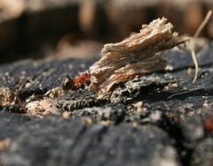 Mraveneček v lese těžkou kládu nese