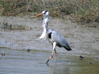 Grey Heron Swallowing Fish 4 | by laloq3