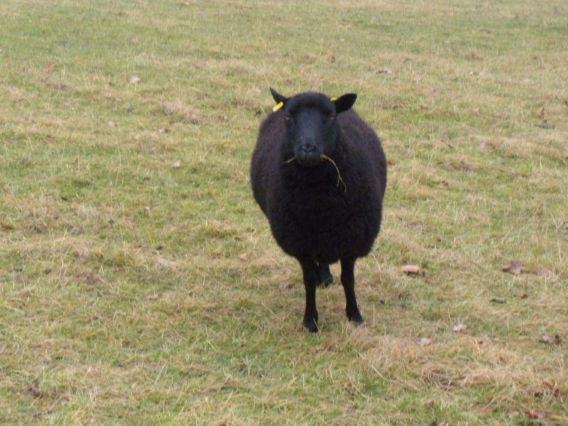 Black sheep Box Hill to Leatherhead