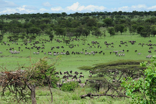 Blue Wildebeest on migration | by VSmithUK