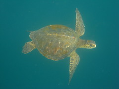 Swimming with the Galapagos Sea Turtle