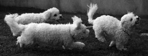 blackandwhite 3 dogs monochrome mono three lilly casper chase bichon bichonfrise minnie chasing