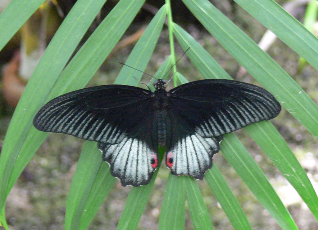 black white and red butterfly
