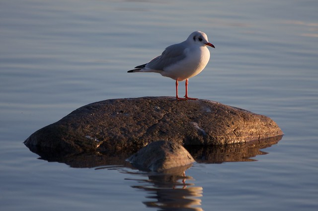 Lonely Gull 1