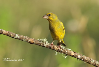 Verdilhão - Chloris chloris - European greenfinch | by jlfconceicao