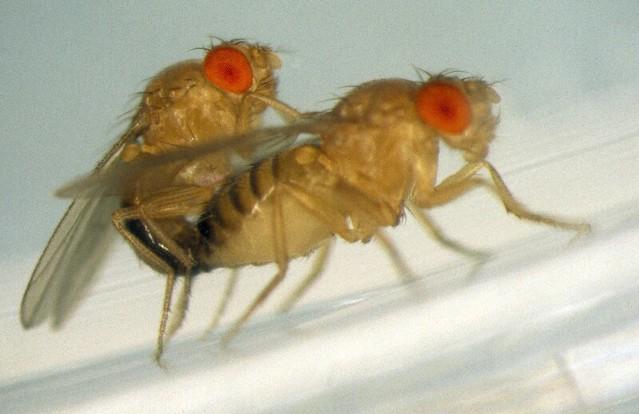 Också hos den vanliga bananflugan, Drosophila melanogaster, får promiskuösa honor fler överlevande ungar.