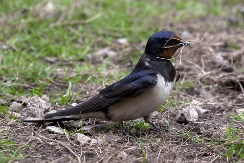 Barn Swallow (Hirundo rustica) gathering nest material | by blackartz