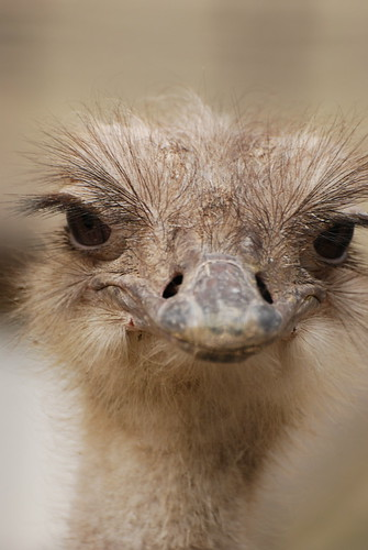 Ostrich | by kuribo