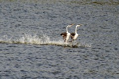 Western Grebes, About to Run Over a Fellow Grebe