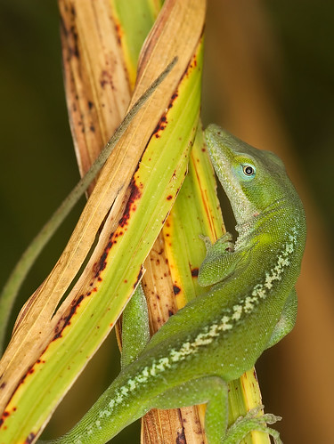 macro texas lizard anole roundrock 002 ringflash canonef100mmf28usmmacro canoneos30d excapture excapturemacro motleypixel royniswanger