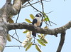 White-fronted falconet, Sabah, Borneo by Filip in Asia