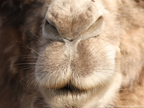 Give us a kiss - Bactrian camel's mouth | by Digital Wallpapers