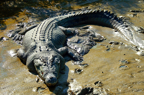 Saltwater Crocodile, Adelaide River, Kakadu National Park, Northern Territory, Australia | by digitalreflections