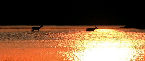sunset sun lake water canon20d deer across whitetail waded caseymorris thelaketogettoanisland onlakehouston