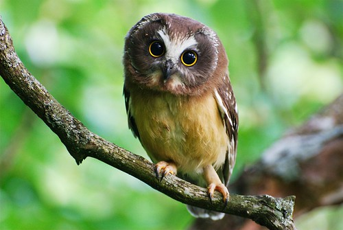 Northern Saw-whet owl | by Mat and Amie