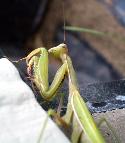 Green Mantis 3   by volkspider