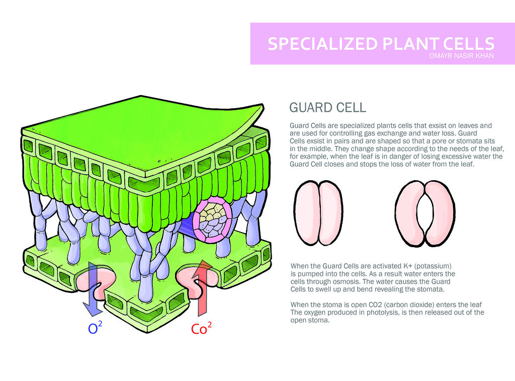 Specialized Plant Cell | Scientific Illiustration Pen, Adobe