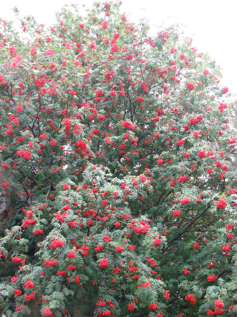 Alaska Red Berry Tree Tree Loaded With Berries In Skagway Flickr