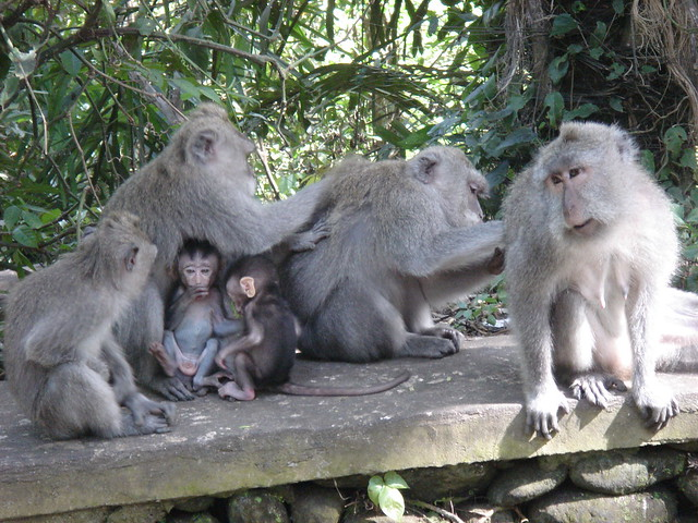 Macaque family, Sacred Monkey Forest