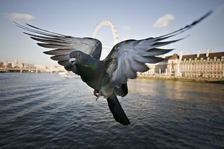 Pigeon | by Jon Cartwright