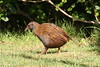 Weka on the prowl by angrysunbird