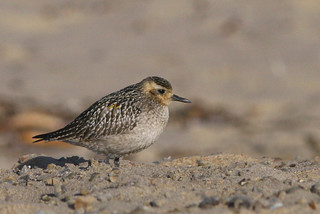 Pacific Golden Plover, Adult Winter, SBCo | by brad.schram