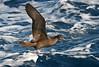 Wedge-tailed Shearwater, Wollongong Pelagic 26.4.08 (11) by Tobias Hayashi Photography