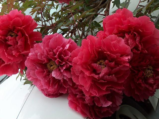 Giant Paeony flowerheads