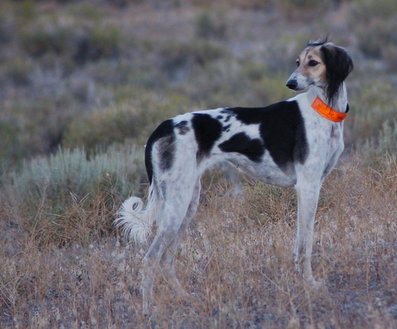 Saluki - Holley