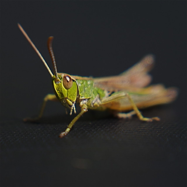 Lensbaby Wetsuit Grasshopper (or is it a cricket?) Macro