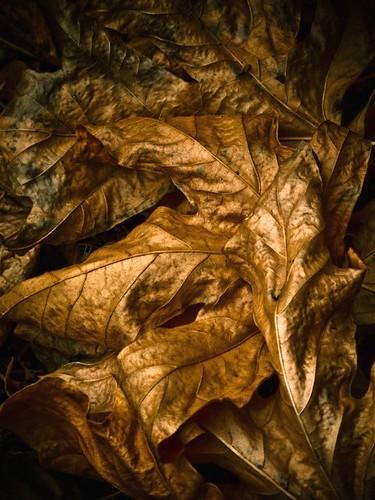 autumn usa color detail art fall leaves dark gold golden washington leaf maple flora dry fallen environment curled veins sylvia graysharbor montesano atmyfeet schnoor driedout g9 lakesylvia imagesmyth stevenschnoor 20081024 autumnprospecting blownunderashrub
