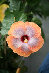 Chinese Hibiscus  Hibiscus rosa-sinensis  'Fifth Dimension'  Mallow Family - Malvaceae | by cliff1066™