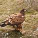 Flickr photo 'immature Bald Eagle - Haliaeetus leucocephalus' by: MT Lynette.