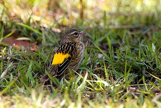 Black-throated Canary ( Yellow-rumped Seedeater) - Mara Kenya IMG_3223-18 | by fveronesi1