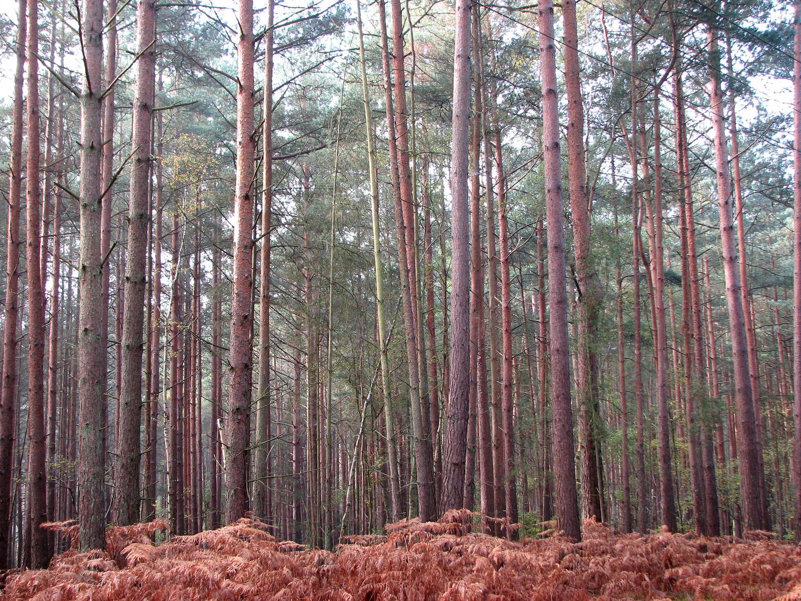 Frosty birches