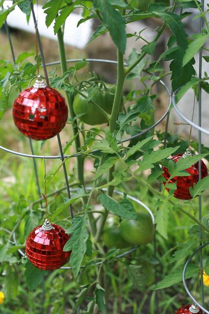 edward tomatoes: so far so good