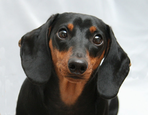 She's OK! | 11/13: Everyone who owns a doxie knows they ...