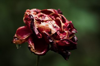 Unlike this rose, I am still alive | by Beppie K