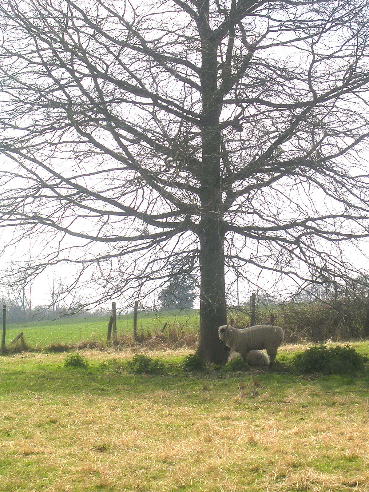 Sheep by tree Witney to Haslemere