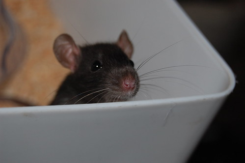 cute nose rat box whiskers ratty petrat nikond40 bobosas