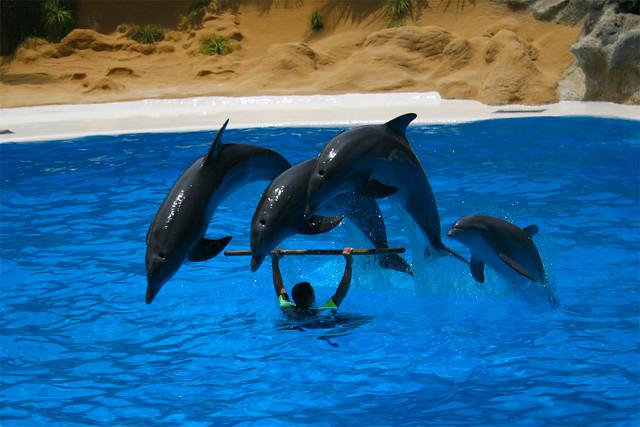 95) Loro Parque: Dolphin Show