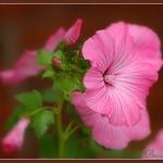 pink admiration