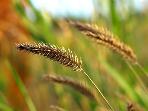 grass minnesota grain rochester prairie bigblue bendy hbw zuiko50mmf2 explorehighest22