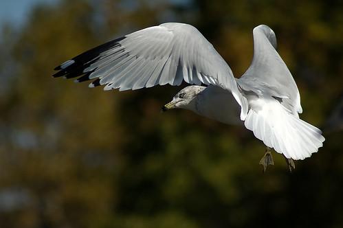 bird nature animal nikon d70 wildlife gull maryland 70300mmf456g havredegrace harfordcounty epiceditsselection