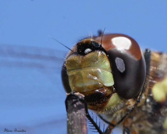 Série com uma Libélula - Series with a Dragonfly - 19-03-2009 - IMG_3535